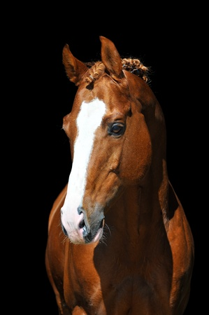 portrait of chestnut Trakehner horse on the black