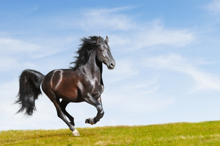 Black Kladruby horse rung gallop on freedom