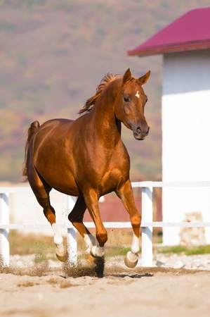 chestnut arabian horse runs gallop on freedom