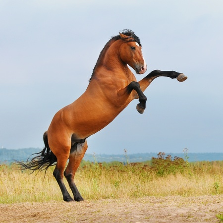 bay horse rearing up on the meadow in summer