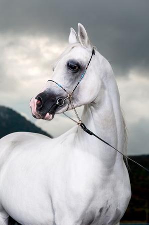 white arabian horse on the storm background, studio shot