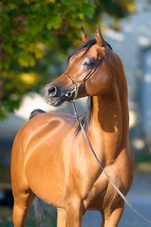 Bay arabian horse stallion portrait in halter in autumn