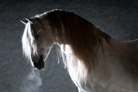 White horse portrait on the dark background