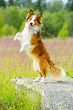 Border collie dog stand up on the flowers background
