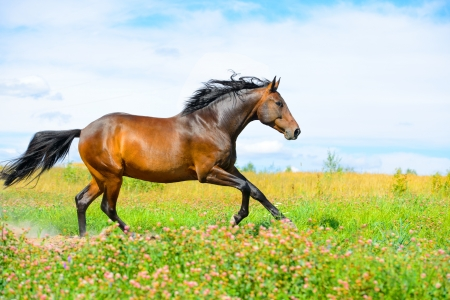 Bay horse runs gallop on the flowers meadow on the sky background