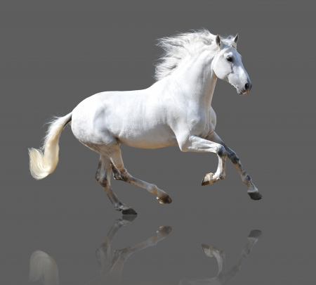 White Andalusian horse isolated on the gray