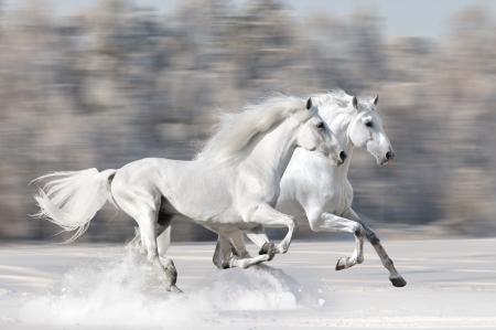 Two white horses in winter run gallop fast