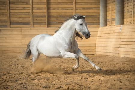 White PRE horse runs gallop in the manege