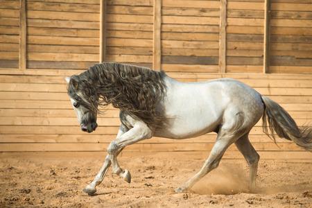 White Andalusian horse runs gallop