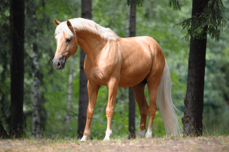 beautiful palomino horse stands in the meadow in forest