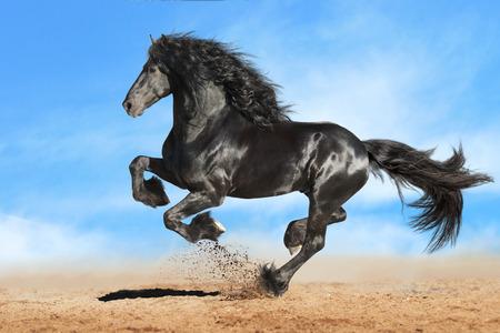 Photo pour Running gallop Frisian black horse - image libre de droit