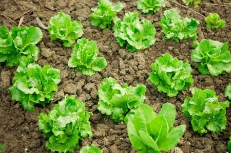 Vegetable garden  Rows of fresh lettuce plants