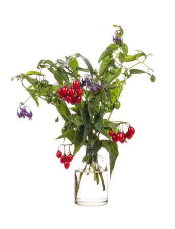 Photo pour Solanum dulcamara (violet bloom or woody nightshade) in a glass vessel with water - image libre de droit