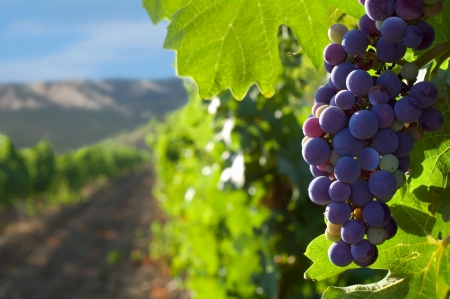 grapes on a background of mountains and vineyards