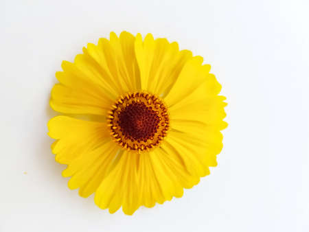 Photo pour Yellow rudbeckia flower or coneflower on a white background. Autumn coneflowers. Background. High quality photo - image libre de droit