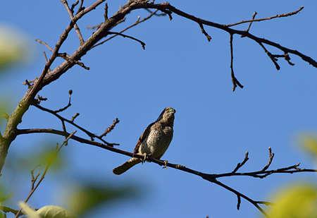 Photo pour Bird Eurasian wryneck on a branch close-up against the sky. - image libre de droit