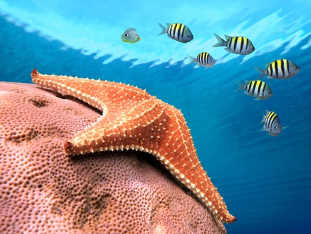 Starfish on hard coral with school of sergeant major damselfish and water surface in background, Caribbean sea