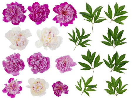 Photo for Pink and white real peonies - flowers and leaves big  set. Isolated on white collage from several photos - Royalty Free Image