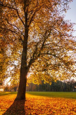 Photo pour Trees with fallen colored leaves in an autumn park during a sunset. - image libre de droit