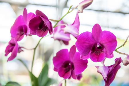 Beautiful Thai orchid flower