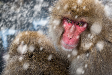 Two adult Japanese macaques (macaca fuscata) huddle together for warm at Jigokudani Monkey Park in Japan.