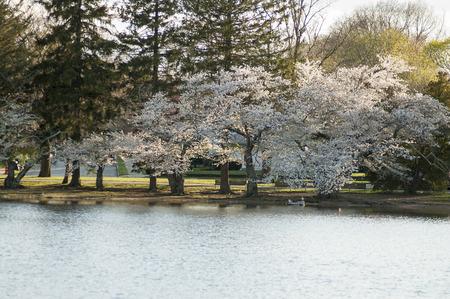 Photo pour Trees blooming along the shore of a small pond - image libre de droit
