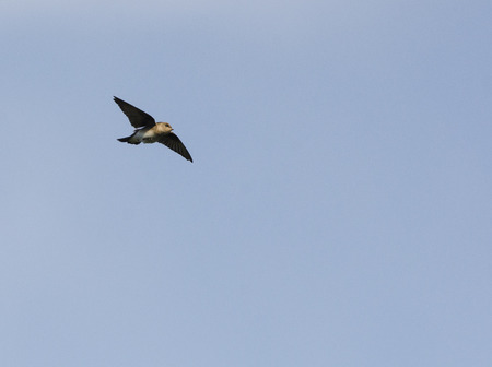 Chimney Swift foraging on the wing for insects