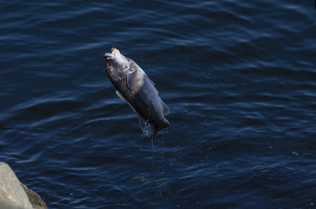 Photo pour Fisherman snares Tautog in New Bedford inner harbor. Fishermen are discouraged from eating fish caught in the inner harbor because of PCB contamination. - image libre de droit