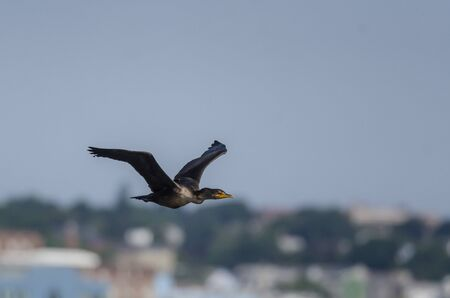 Photo pour Double-crested Cormorant in flight wings high against New Bedford waterfront - image libre de droit