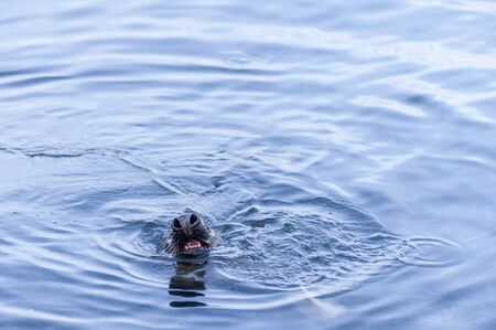 Photo pour Gray seal with its nostrils flared and mouth open in New Bedford harbor - image libre de droit