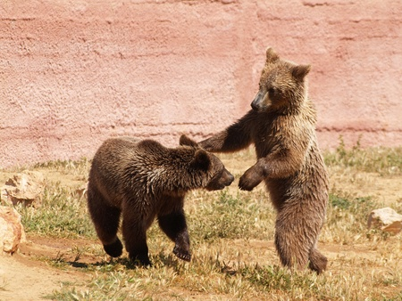 Young bears playing at the zoo