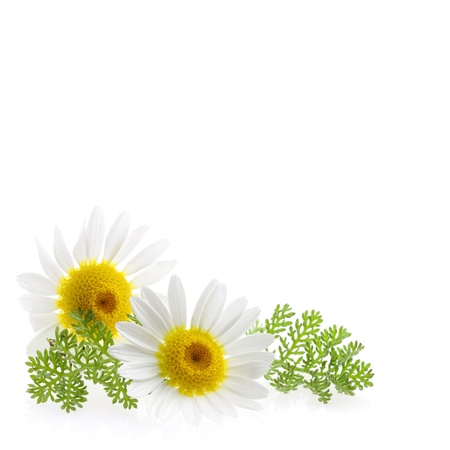 Daisy flower at the right corner and text free space at the picture