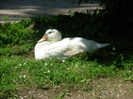 Duck in the park 2