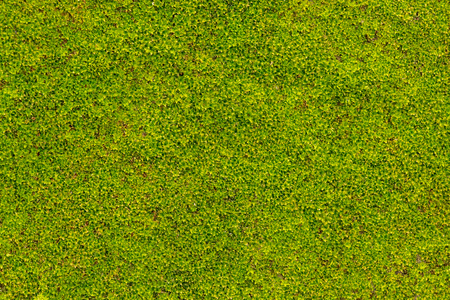 Foto per Green moss on concrete wall in rainy season - Immagine Royalty Free