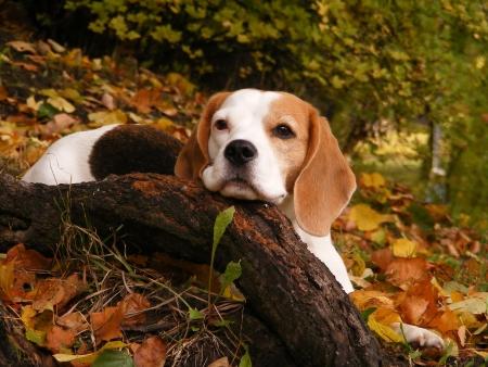 Photo pour Beagle resting on the ground in autumn park - image libre de droit