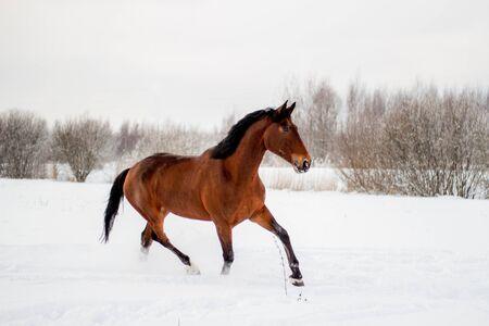 Photo pour Bay horse in the snow trotting free - image libre de droit