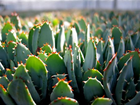 Potted plants (succulents) with thorns in a greenhouse