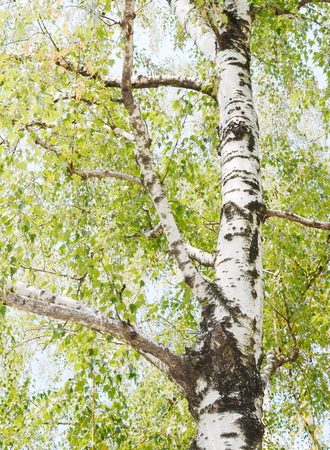 Birch Tree in Summer