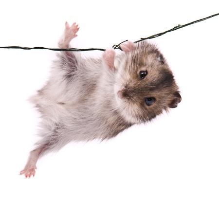 Little dwarf hamster on a rope
