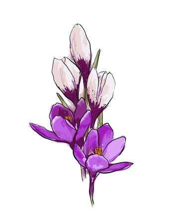 Illustration pour Bouquet of violet and white crocuses on a white backgroundSpring flowers. Hand drawn vector illustration. - image libre de droit