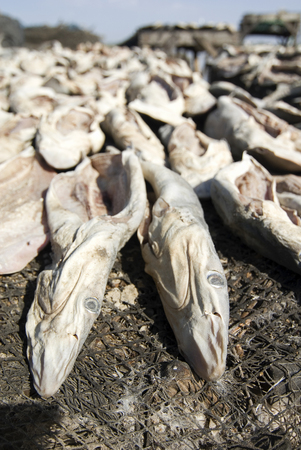 Large amounts of fish drying in the sun in Saint-Louis