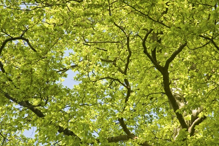 Green Leaves in beech tree canopy, spring.