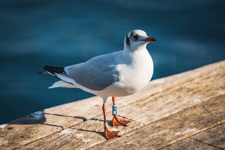 Photo for Small specimen of Black-headed gull in its winter plumage - Royalty Free Image