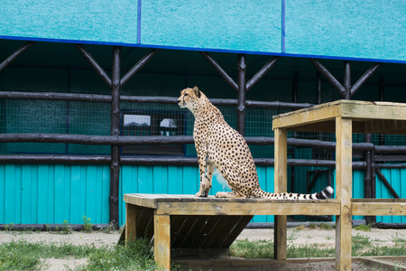 Cheetah sits and looks cleverly into the distance