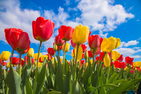 Photo pour Spring blooming tulip field. Flowers tulips, the symbol of the Netherlands. Red tulips and blue sky, sunny spring day. Spring floral background. - image libre de droit