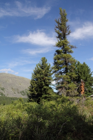 Cedar against mounts and the blue sky