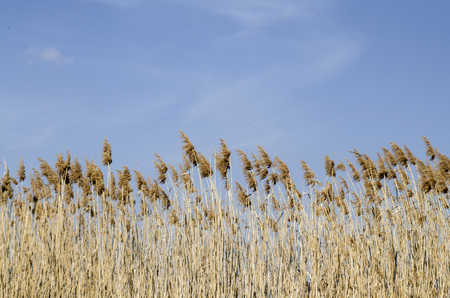 Bulrush against the blue sky