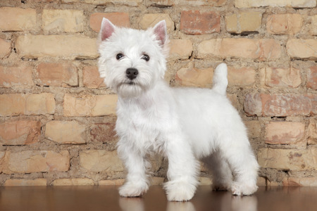 Photo pour West Highland White Terrier dog against a brick wall. Animal themes - image libre de droit