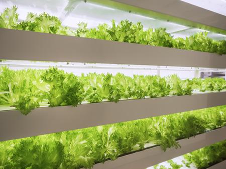 Photo pour Greenhouse Plant row Grow with LED Light Indoor Farm Agriculture Technology - image libre de droit