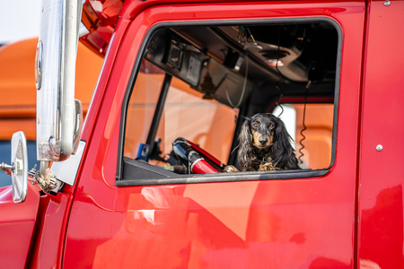 Photo pour In the window of a professional semi truck a handsome venerable martial spotted Cocker Spaniel dog peeks out - a real helper, friend and protector on the road during the voyages - image libre de droit